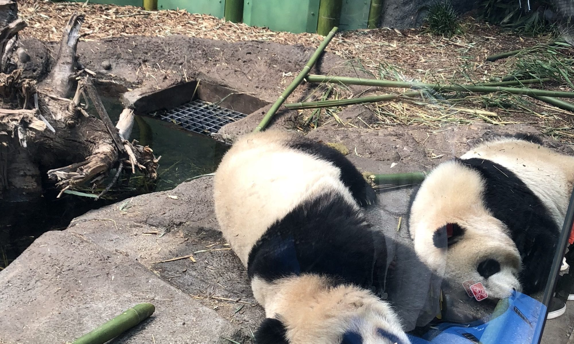 pandas at calgary zoo