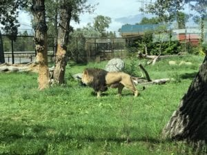 lions at the calgary zoo 2018